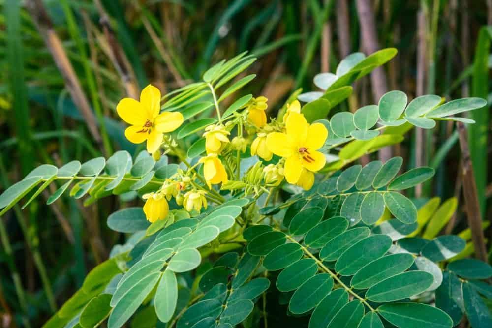 Wild Senna Flowers
