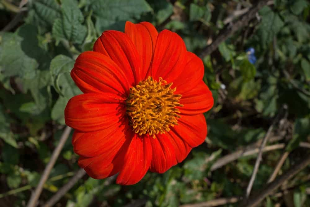 Red Tithonia flower