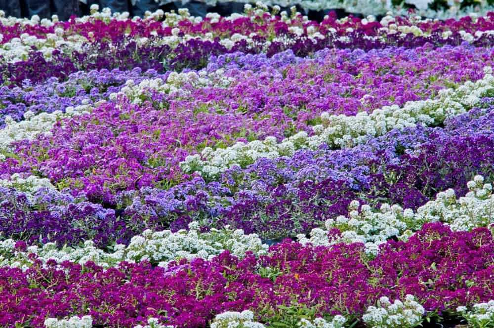 Different Types of Sweet Alyssum Flowers