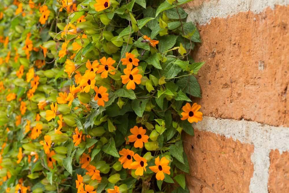 Thunbergia Alata flowers on a brick wall.