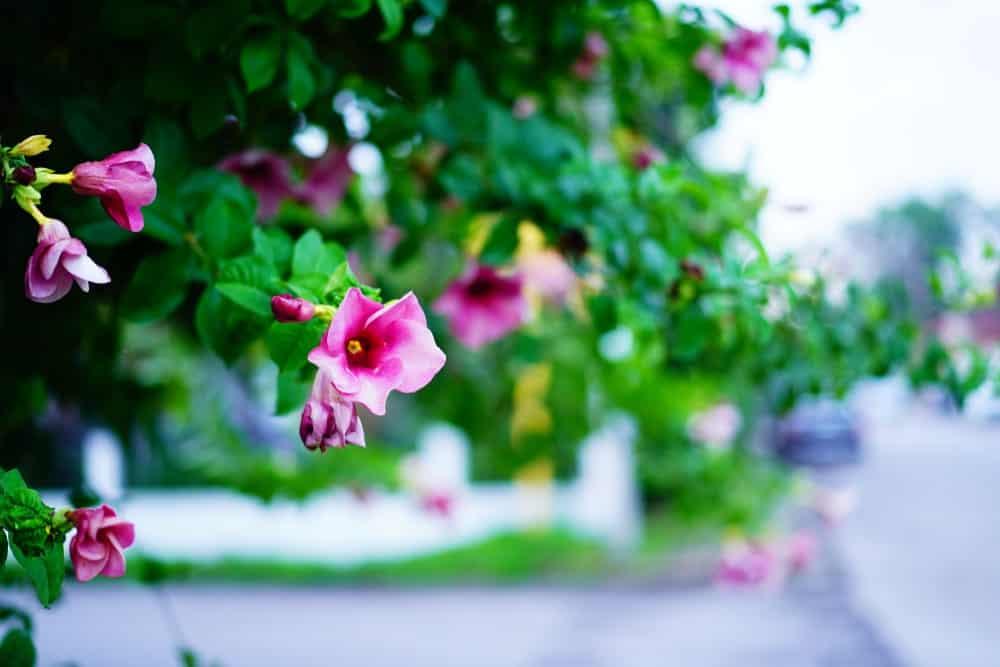 Thunbergia Grandiflora Flowers