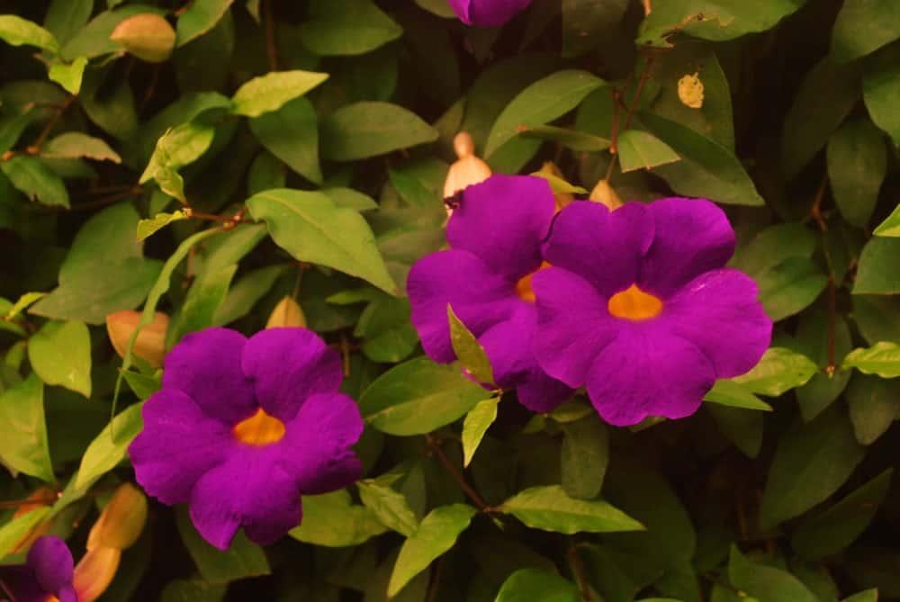 Thunbergia Erecta Flowers