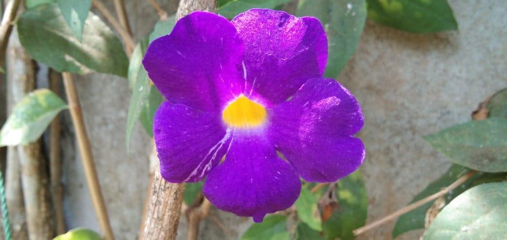 Purple Thunbergia Flower