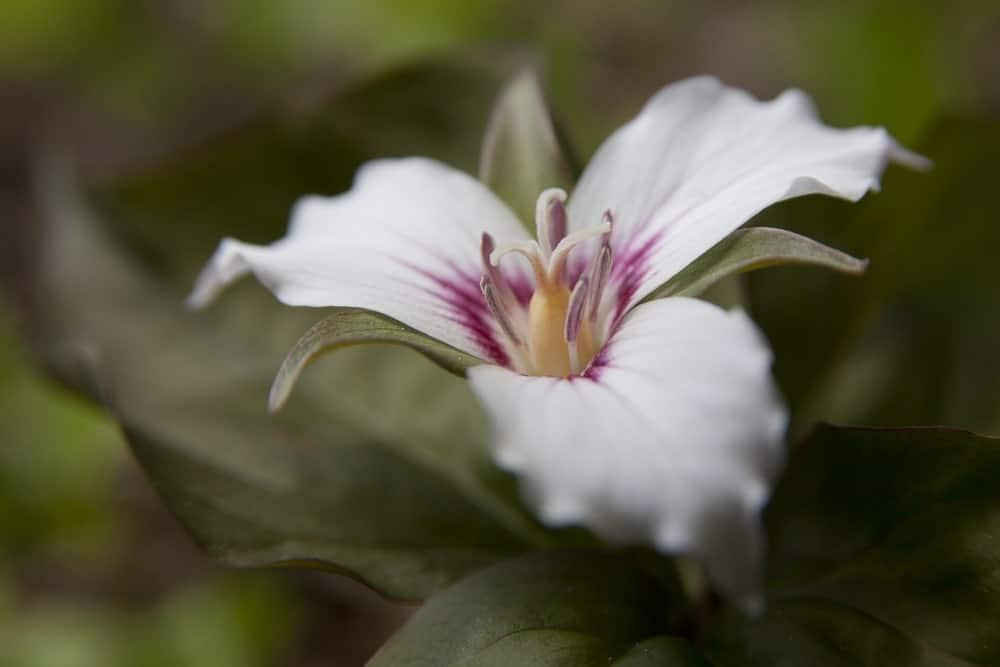 Trillium flower closeup