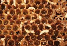 Small Hive Beetle Larvae