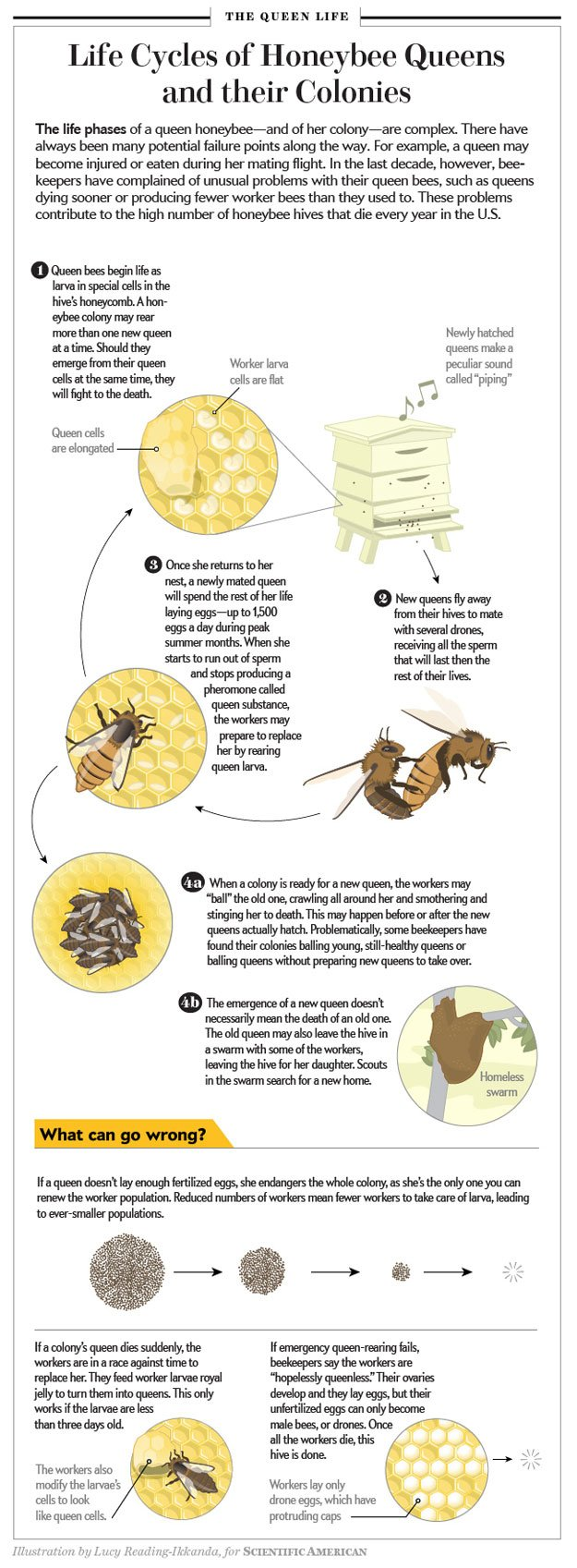 Queen Bee Lifecycle