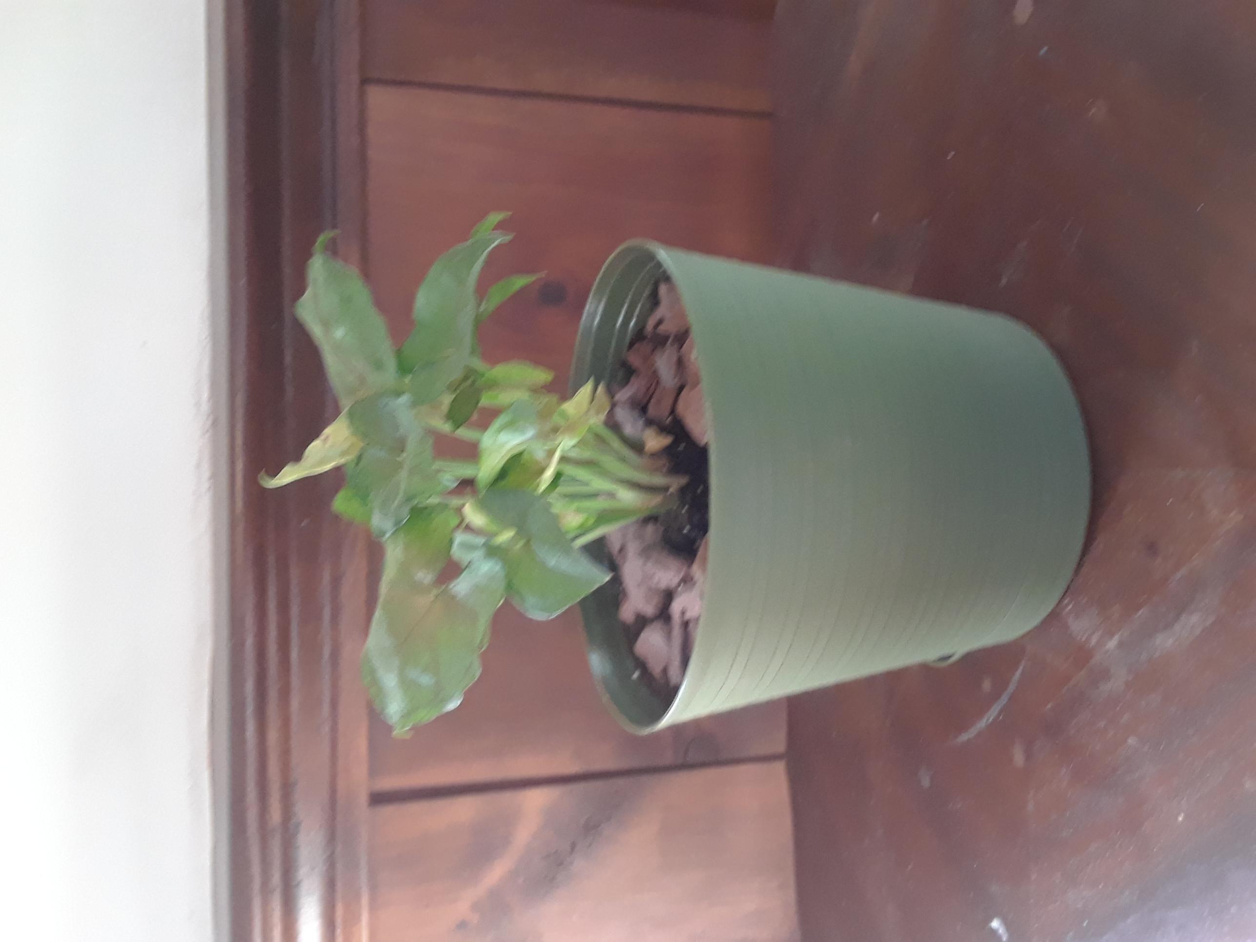 Broad leaf plant
