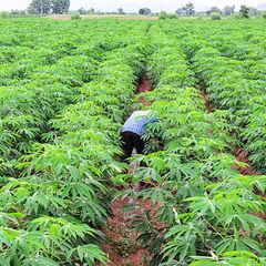Cassava 1538582083