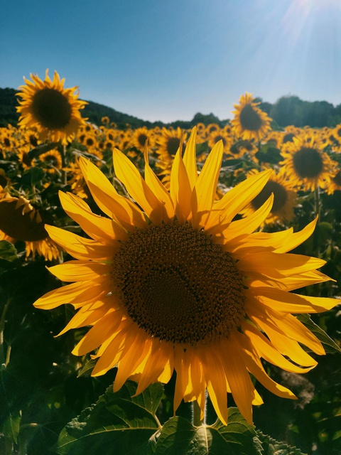 gorgeous sunflower fields spotted