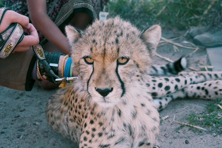 up close with the cheetahs