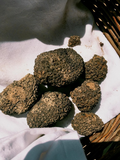 our truffle harvest for the day