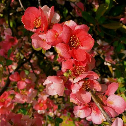 Chaenomeles speciosa blossoms