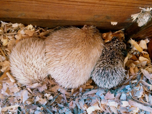 hedgehog mama and babies