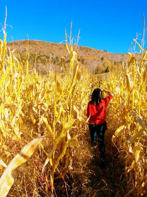 golden corn field