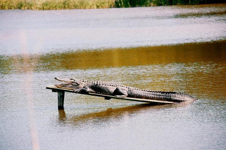 crocodile sunbathing deck