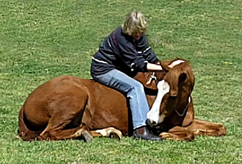 horse lay down
