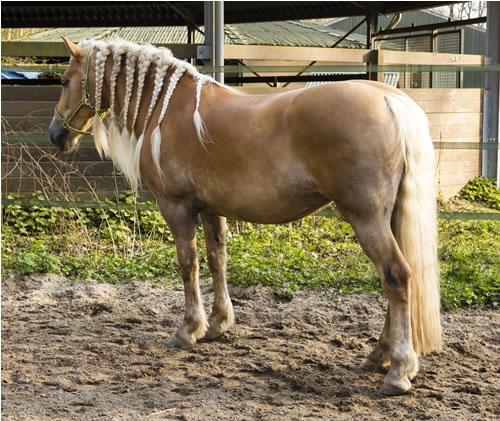 horse plait mane