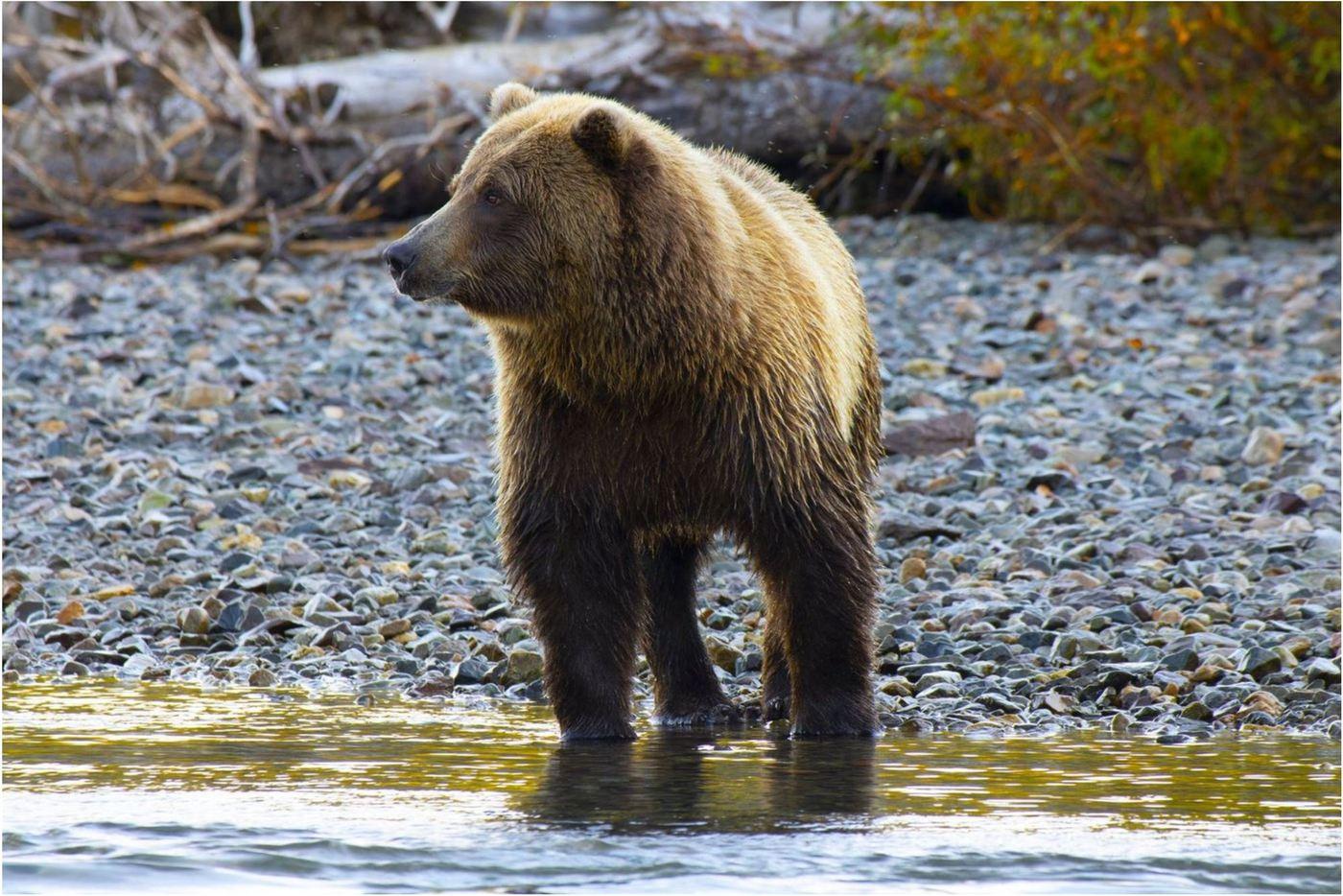 Brown Bear Viewing