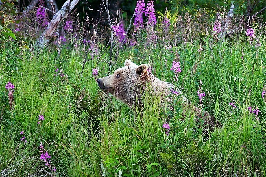 Bear sitting in fireweed