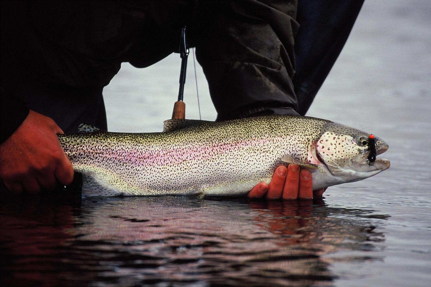 leopard rainbow on fly