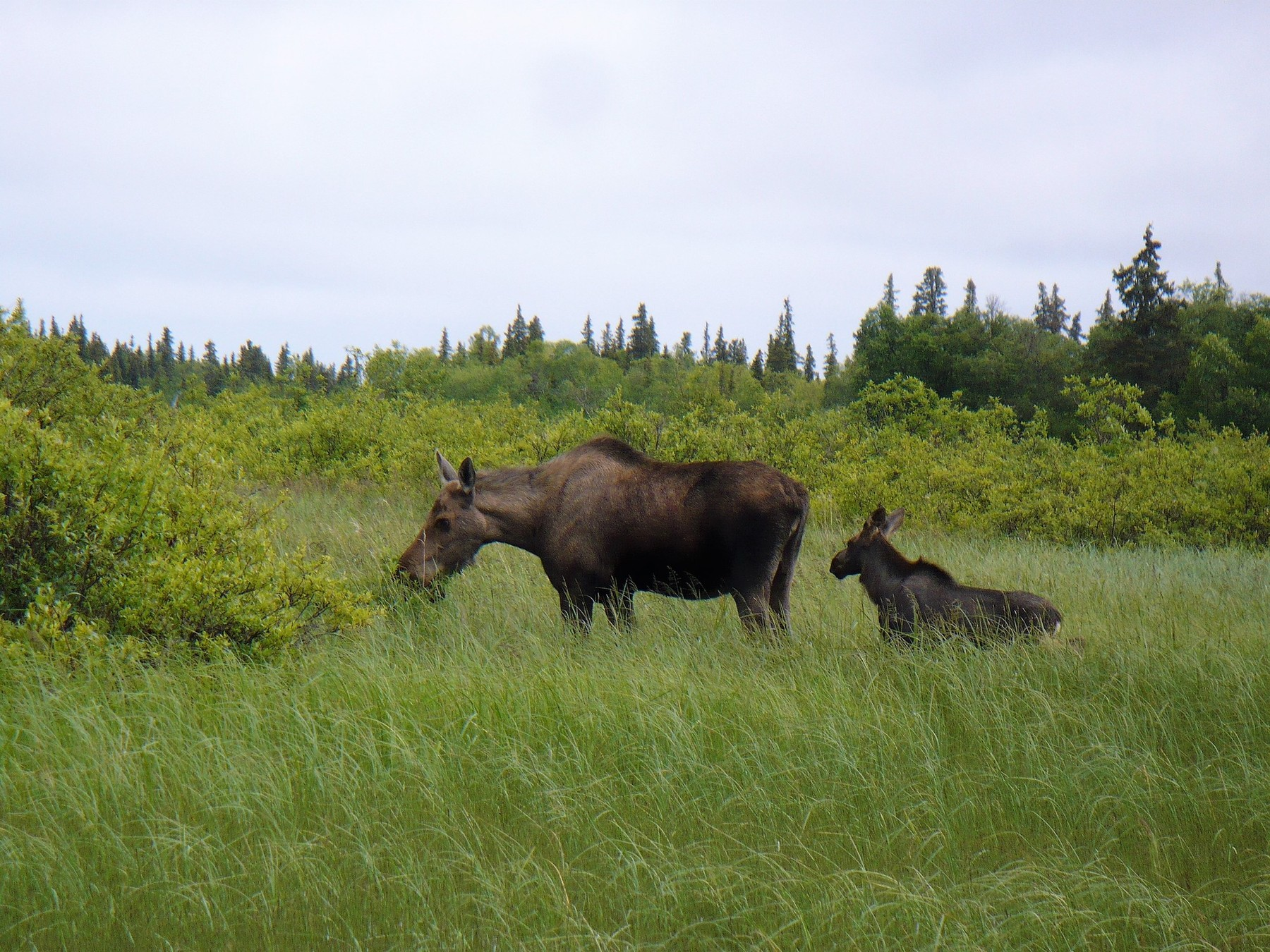 moose cow and calf in meadow
