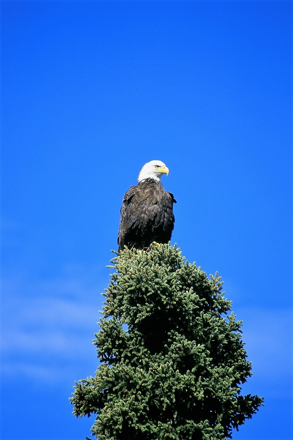 Adult eagle top of tree
