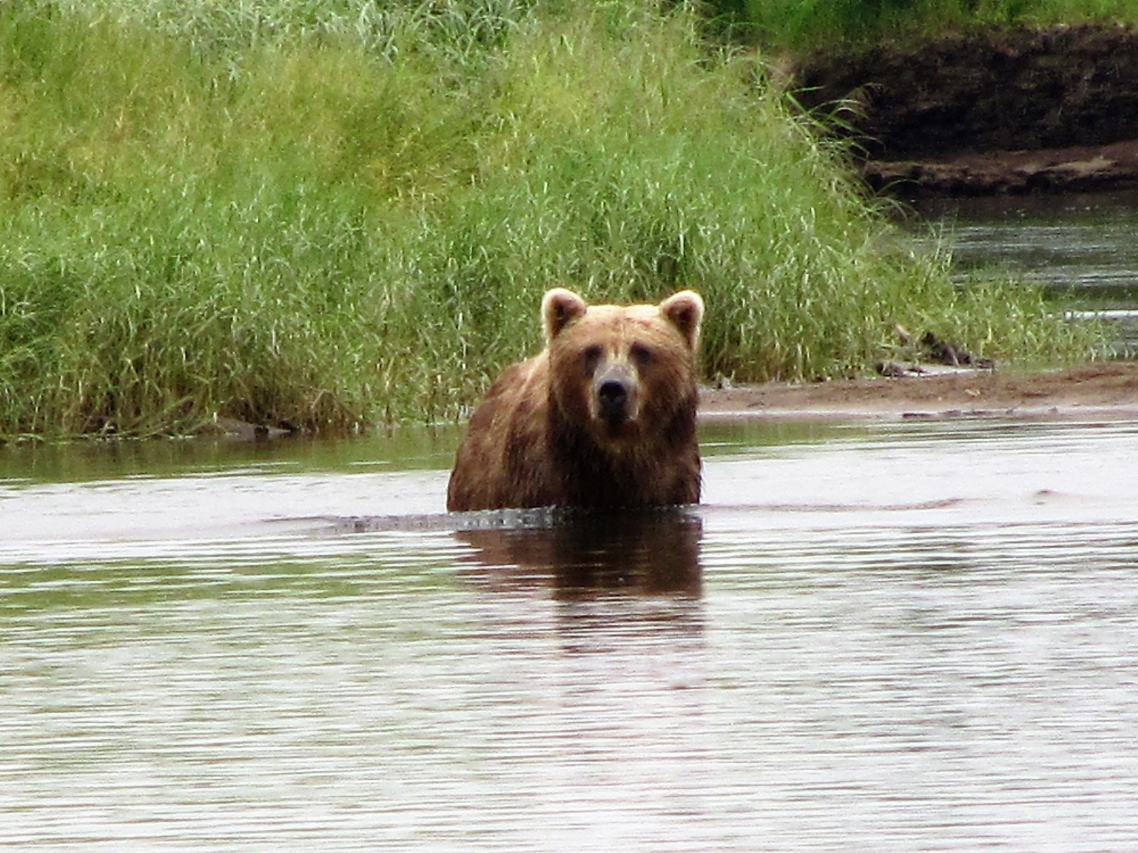 Bear in water near bank