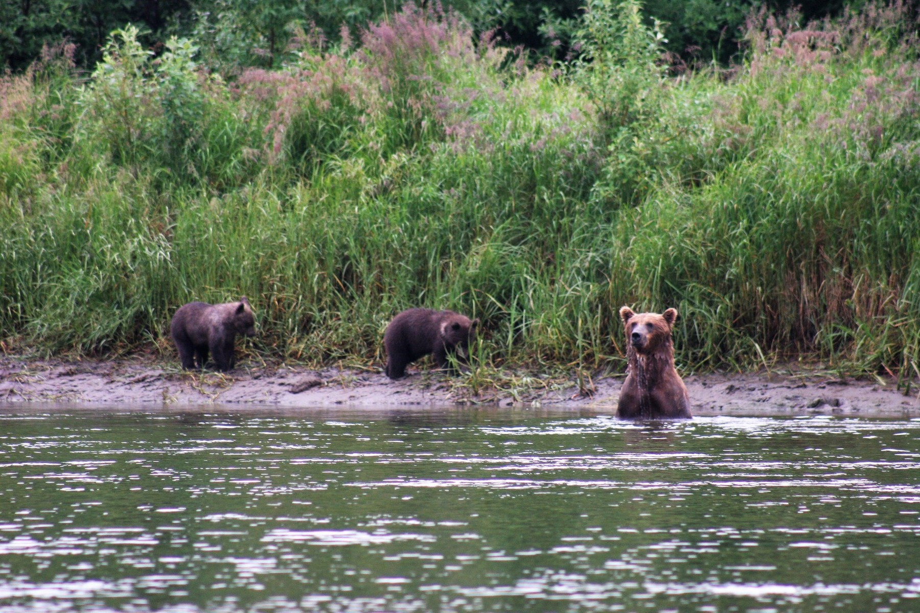 Mother bear fishing for cubs