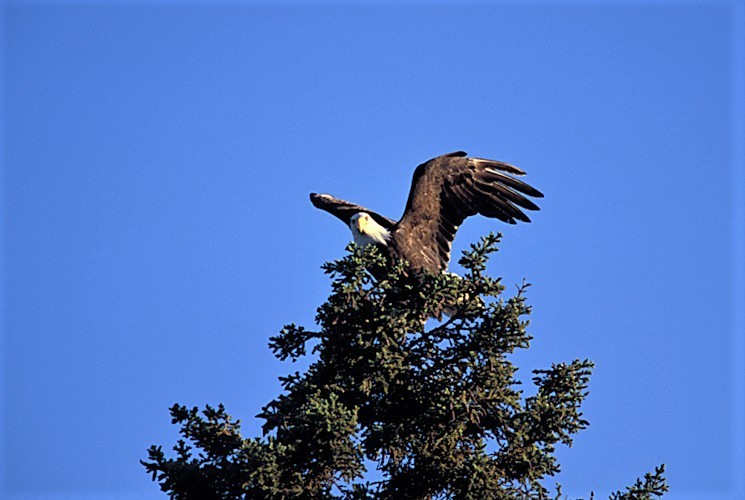 Adult Eagle spreading wings