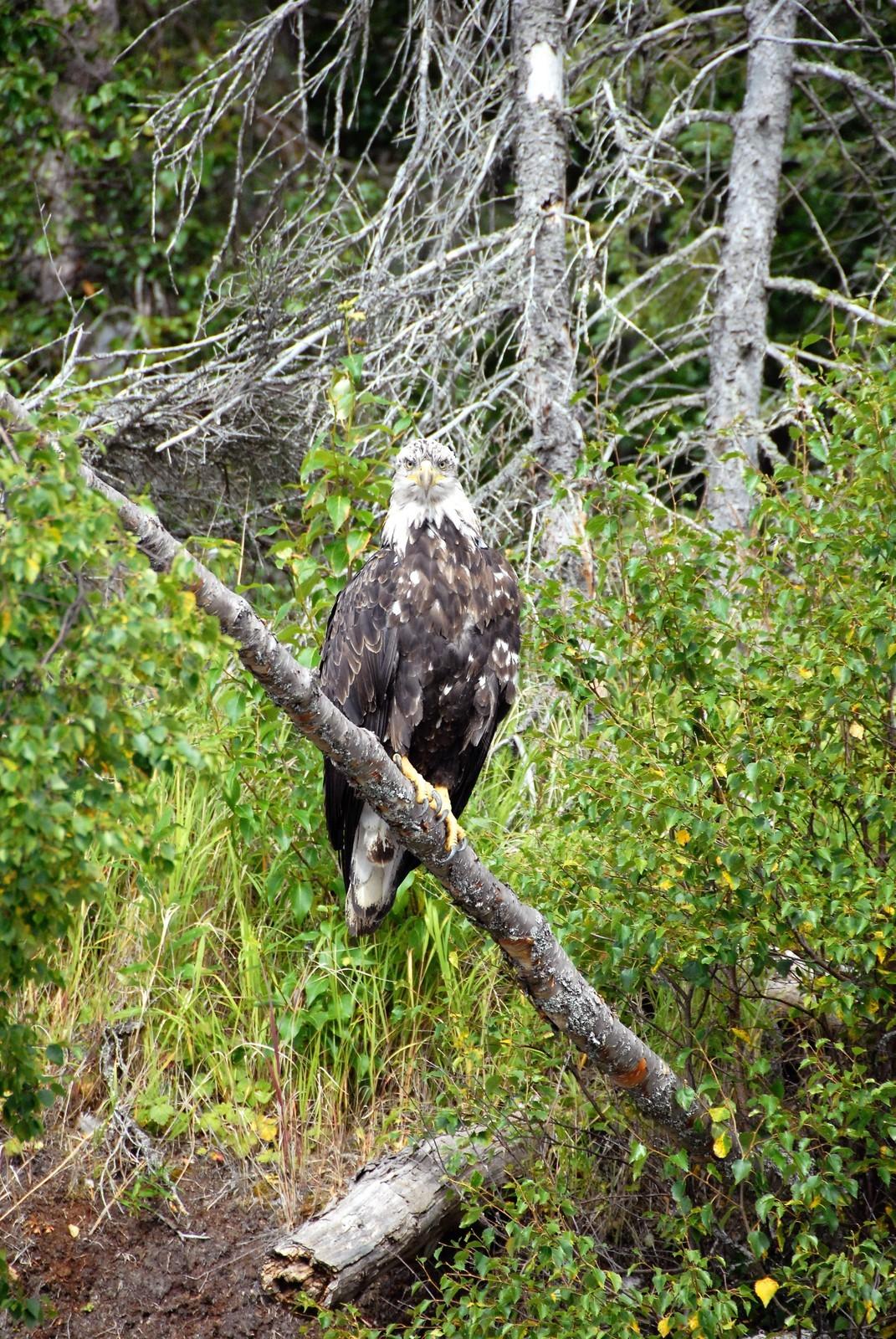 4 yr old Eagle