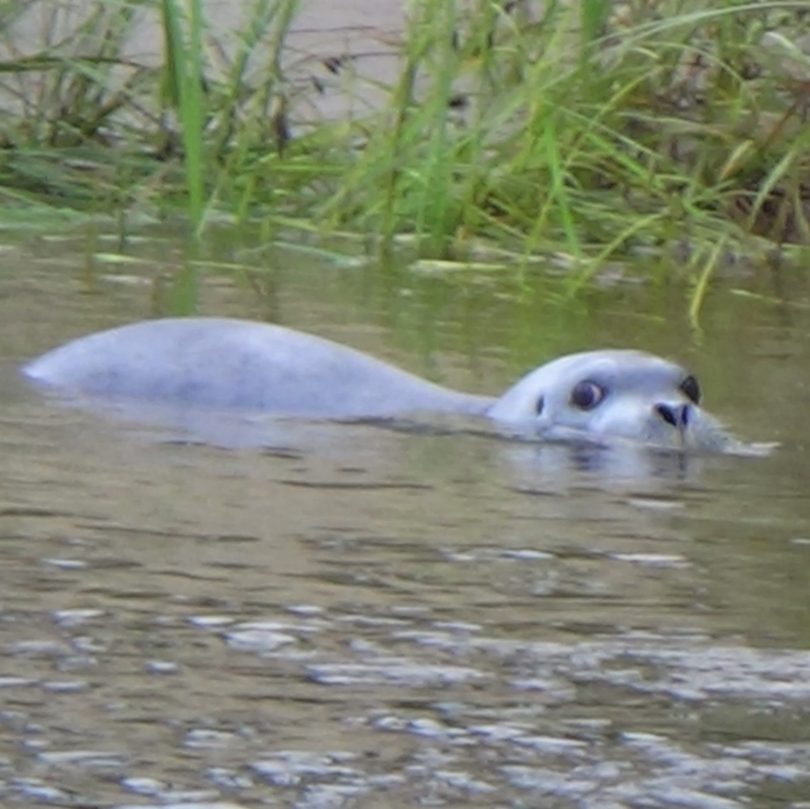 Seal in river