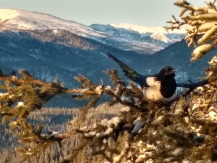 A Magpie outside of the Camp Denali winter office