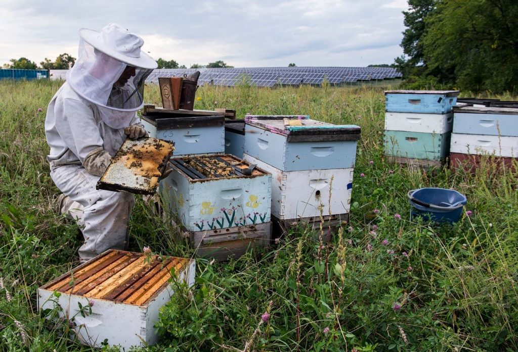 """Minnesota bee keeper, Jim Degiovanni, inspects """"BareHoney"""" hives outside IMS Solar, a pollinator-friendly photovoltaic array site in St. Joseph, Minn. Credit: Dennis Schroeder National Renewable Energy Lab Flickr (CC BY-NC-ND 2.0)"""