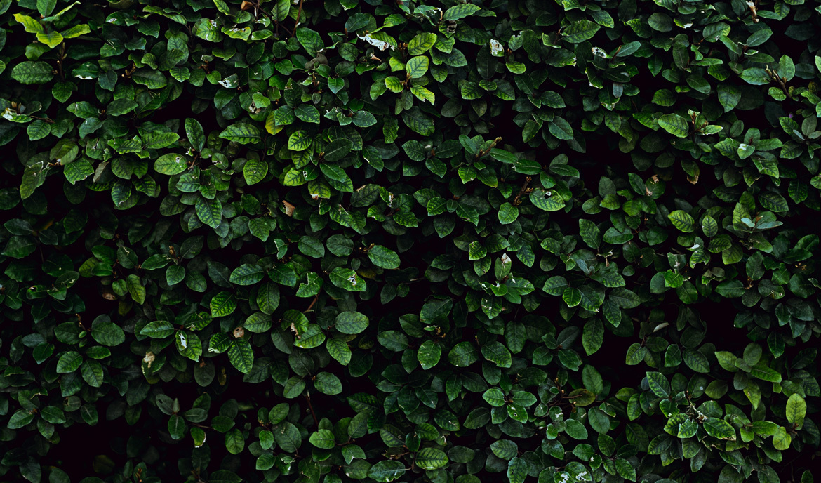 Closeup image of green hedge symbolizing a garden wall