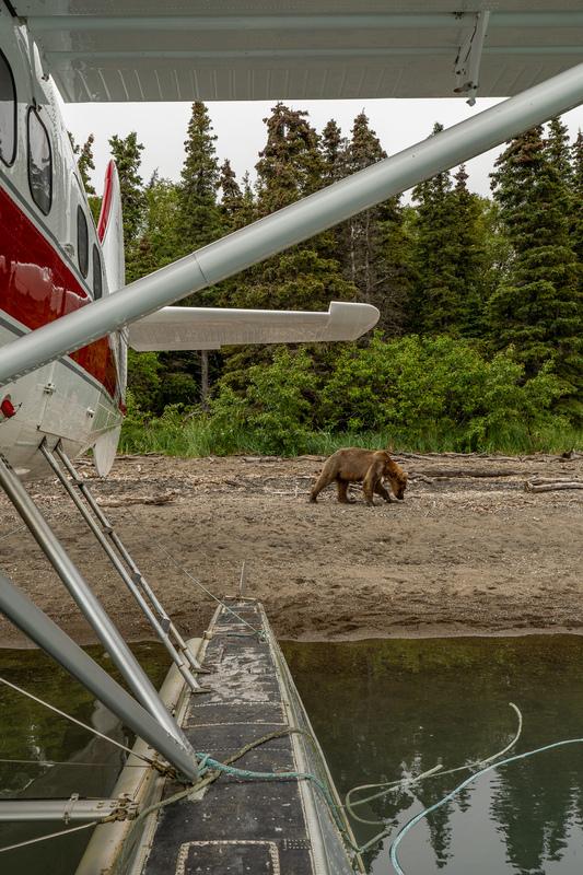 Bear Walking next to planes at Brooks Falls