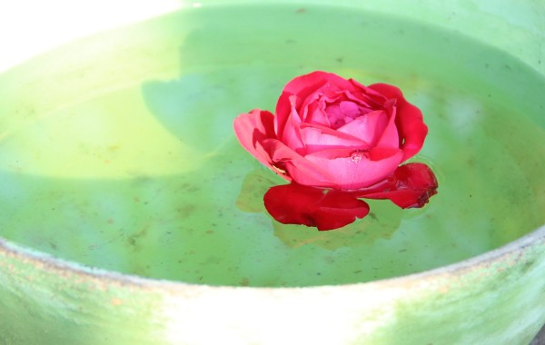 rose-983084_1920