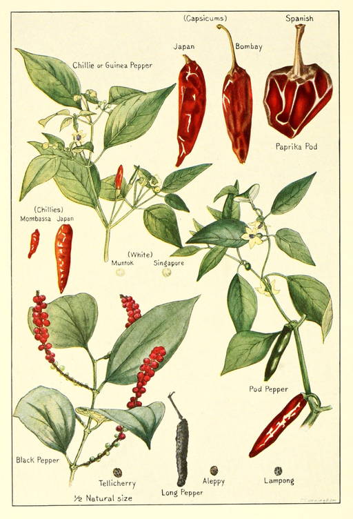 512px-Capsicum-chillies-pepper