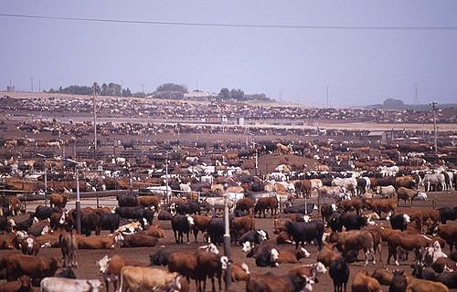 beef cattle factory farm