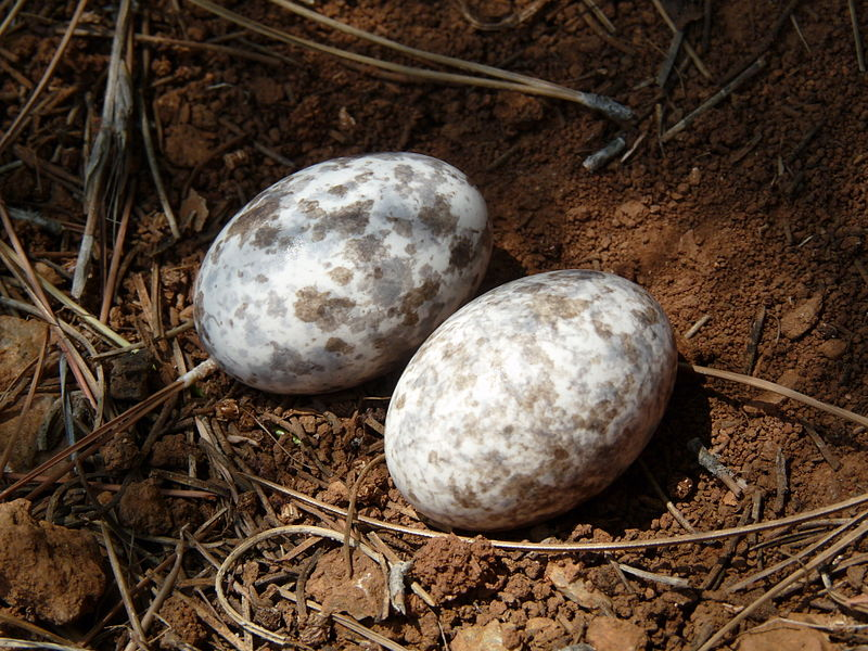 Caprimulgus_europaeus_-Beldibi,_Mugla,_Turkey_-two_eggs_in_a_nest-8_(3)