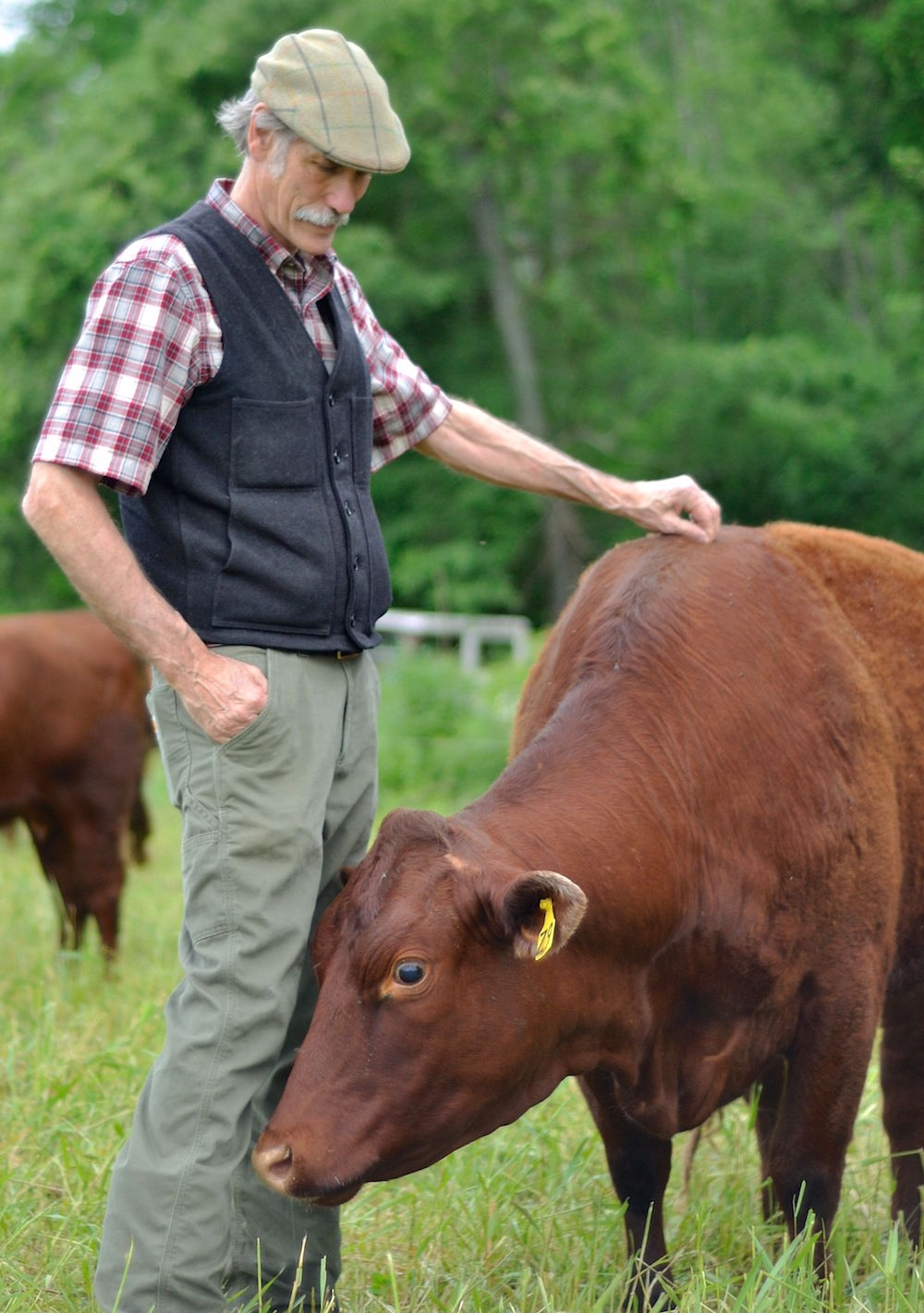 Ridge, cow, portrait 2.5MB