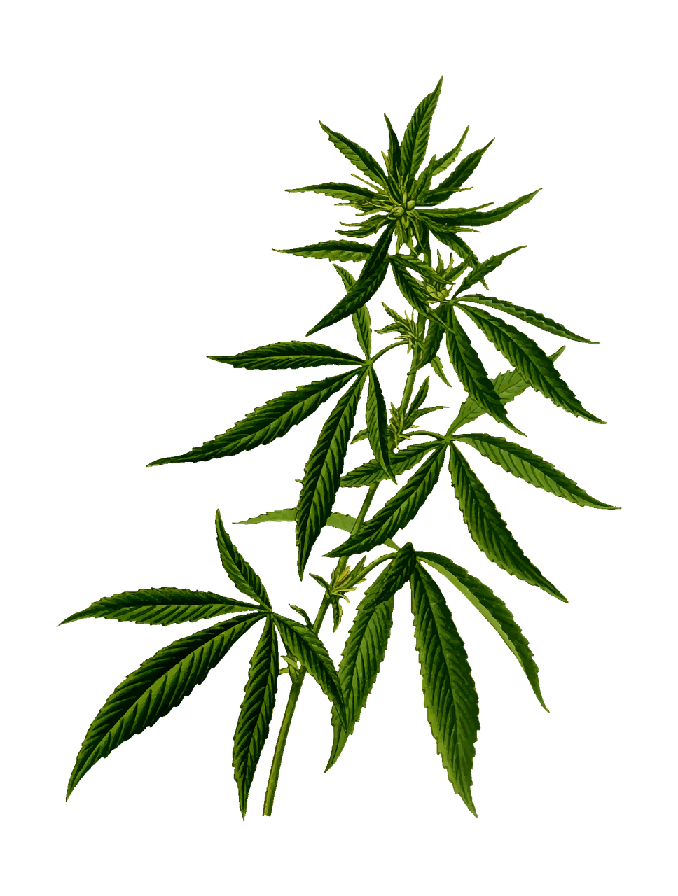 cannabis-2028244_1280 - Jenna Liut