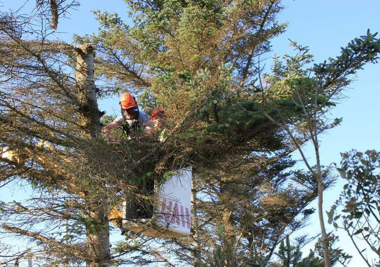 Tree Surgeon vs Arborist: What's their difference?