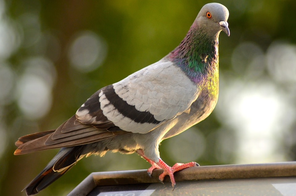 Pigeon Proof Your Roof
