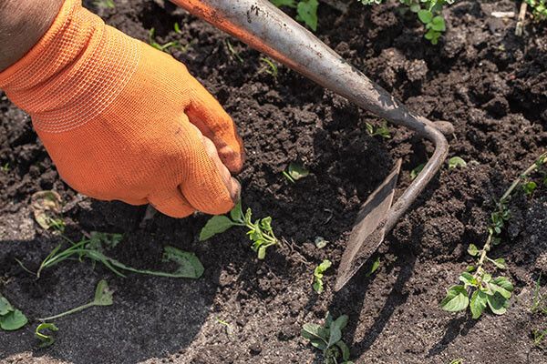 Clean Up the Vegetable Garden Beds