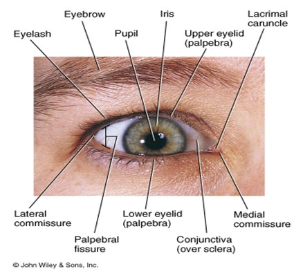 Ppt External20anatomy20of20the20eye Powerpoint Presentation