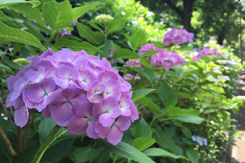 Hydrangea is toxic for dogs