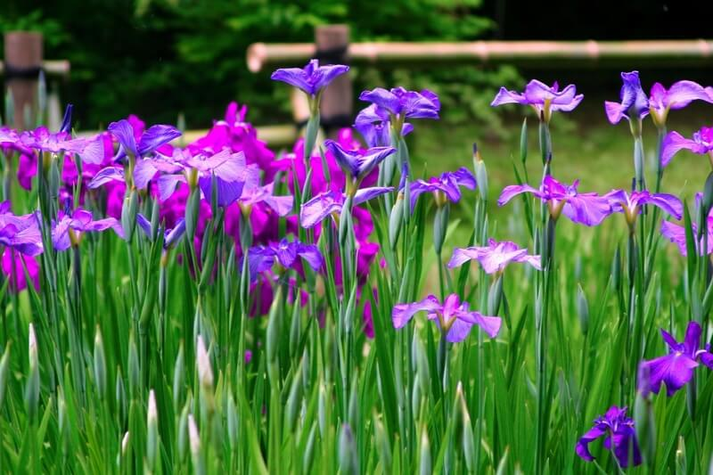 Iris stems are toxic for dogs
