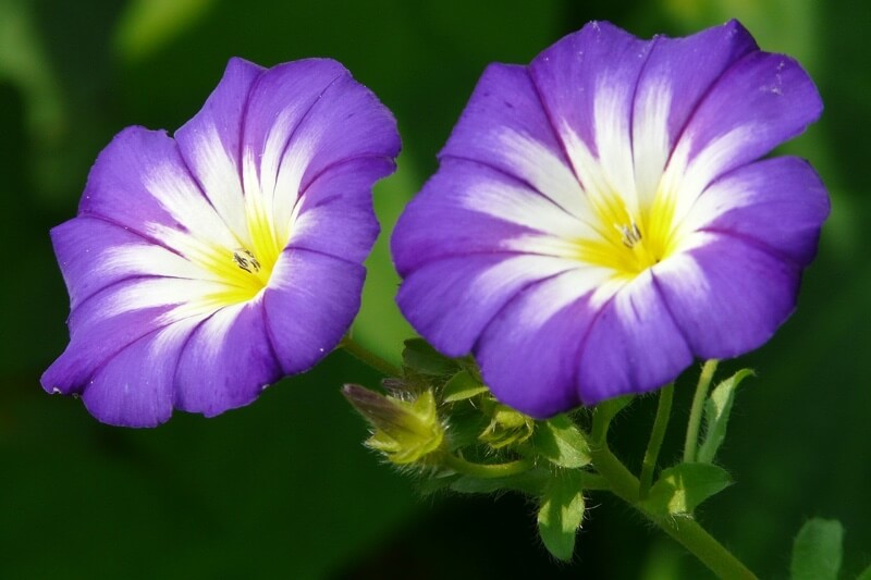 Morning Glory flowers are toxic for dogs