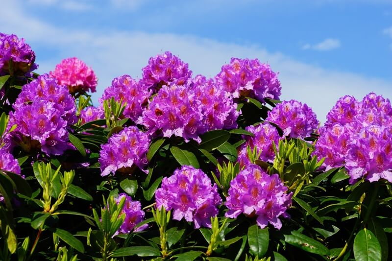 Rhododendrons are toxic for dogs