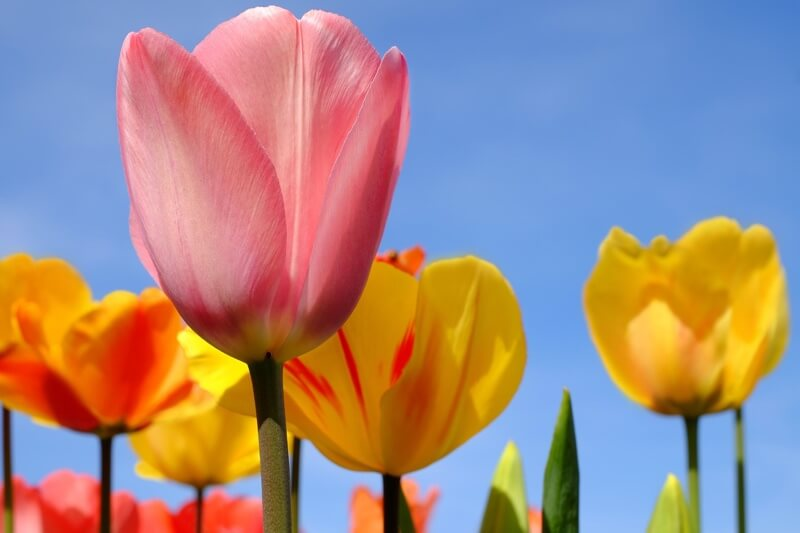 Tulips can be toxic for dogs